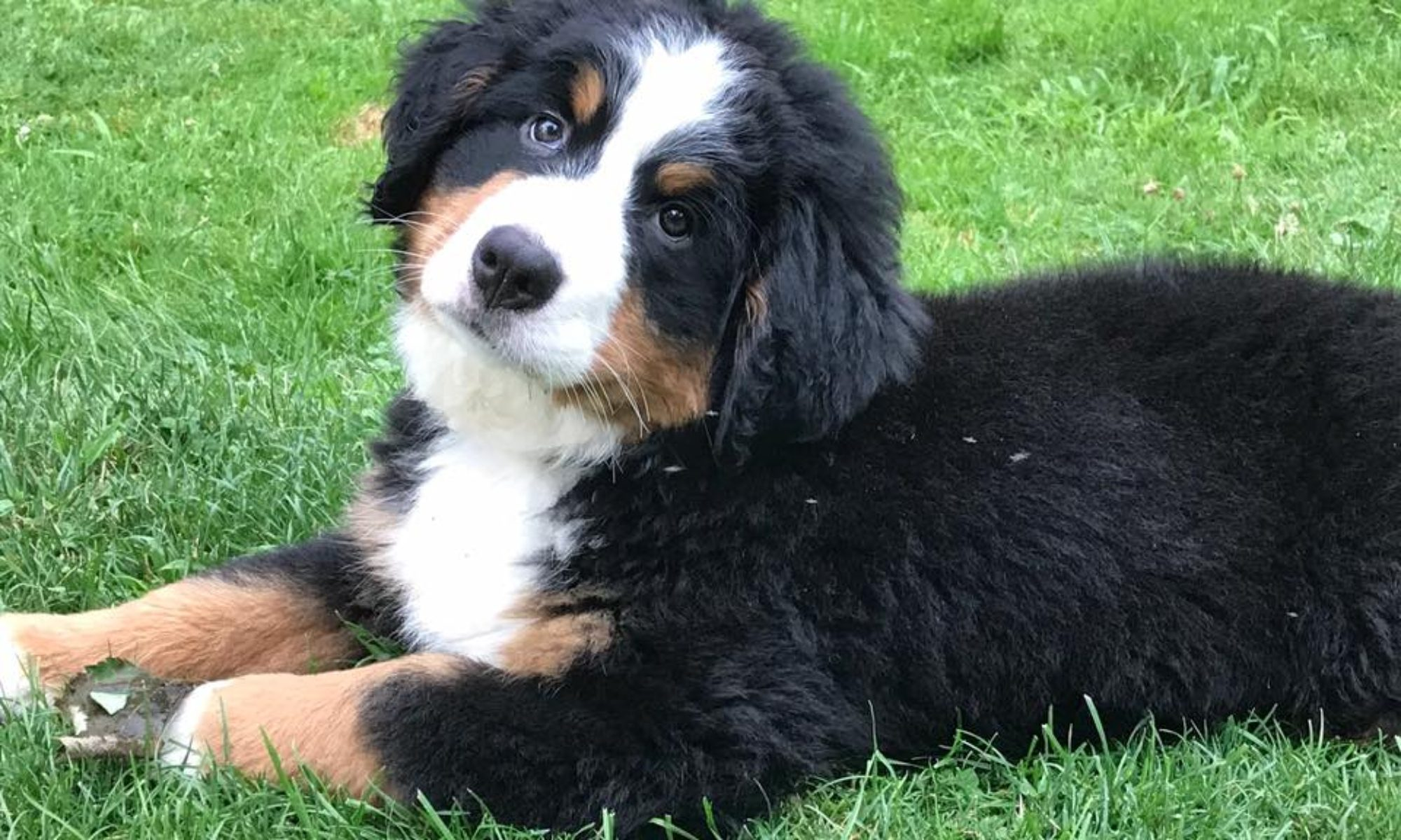 About Bernese Mountain Dog Puppies Ny